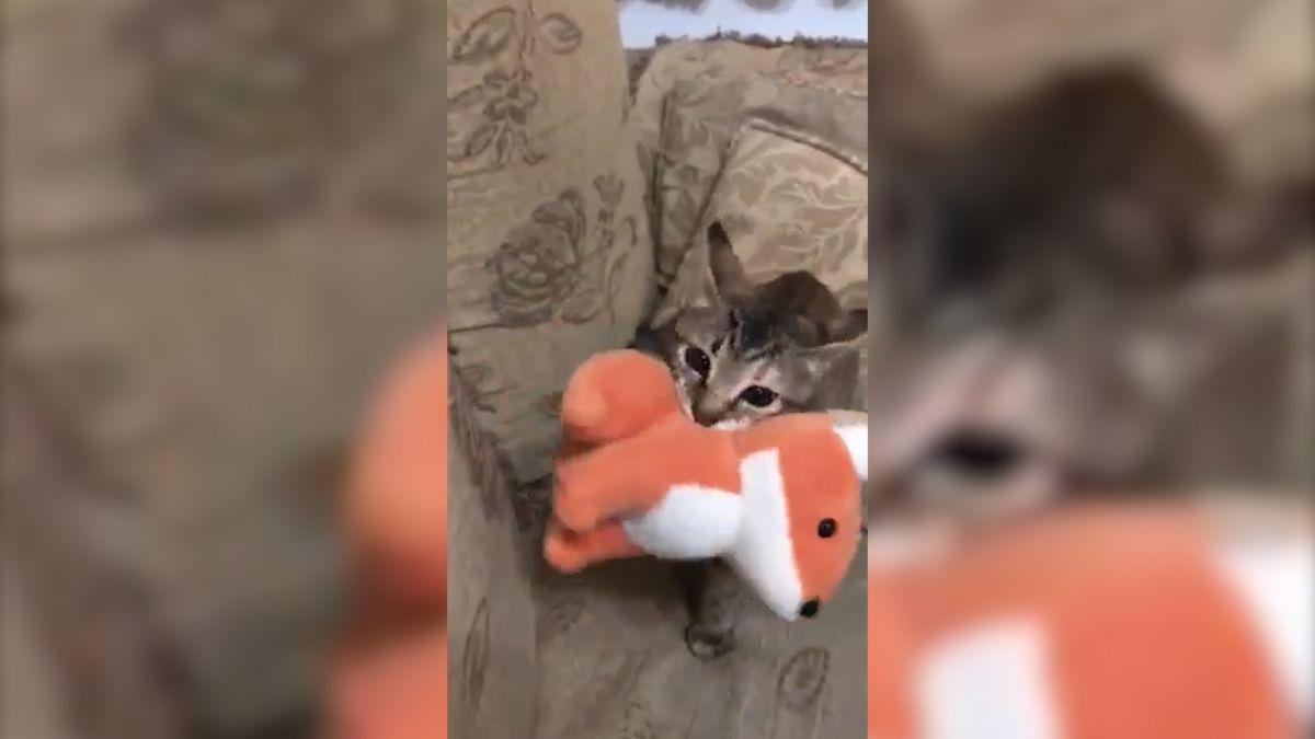 別跟來!喵女兒叼「狐狸男友」去幽會 被抓包還重心不穩撞牆
