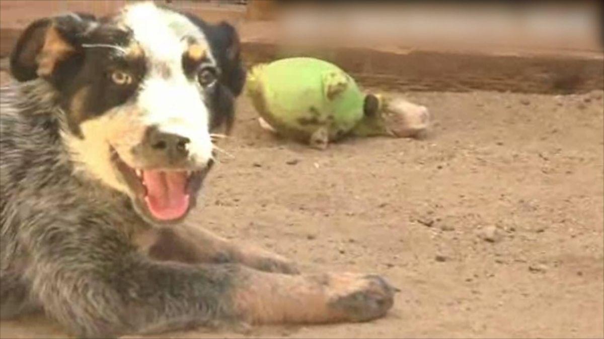 被毒販棄養?狗藏身百萬大麻堆 誤食險送命 警一眼愛上要領養