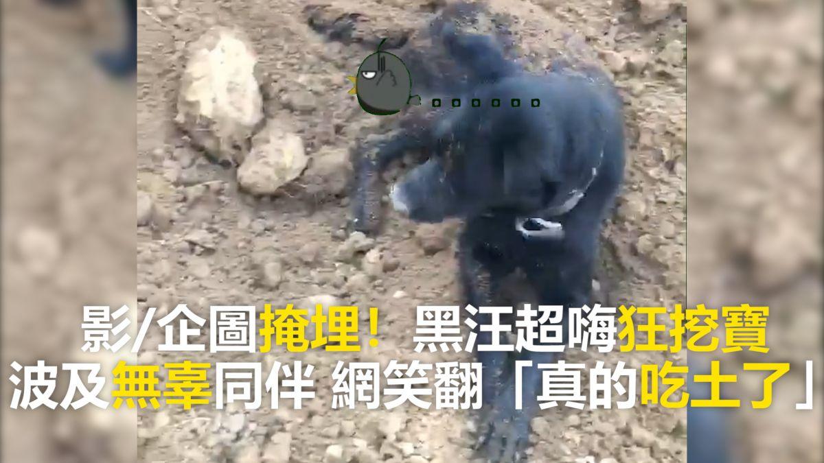 【影片】企圖掩埋!黑汪超嗨狂挖寶 波及無辜同伴 網笑翻「真的吃土了」