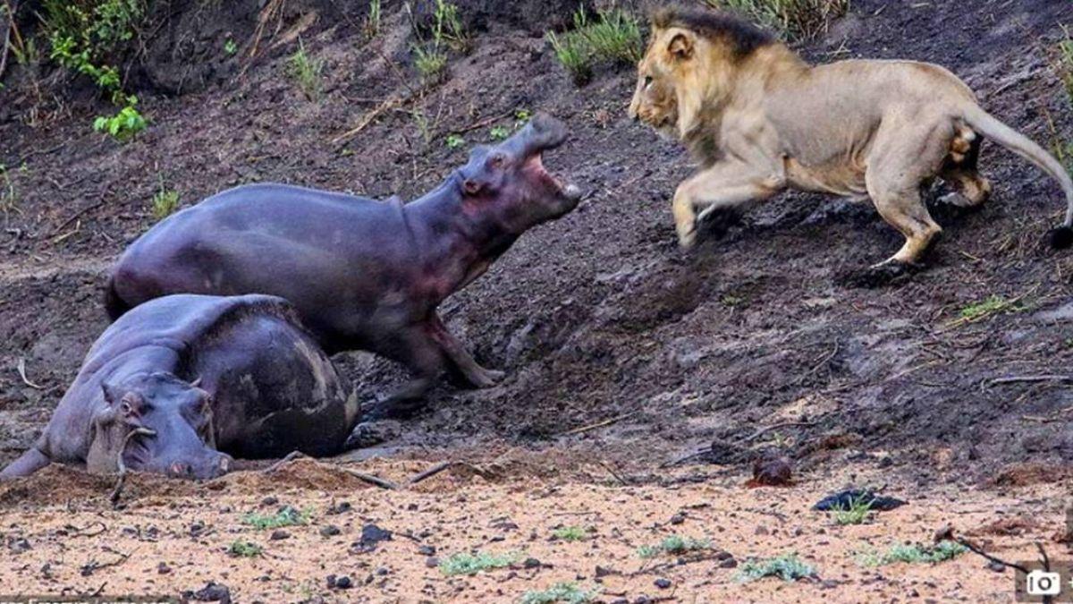 「我要救媽媽」小河馬救母咆哮擊退公獅 結局淚崩…雙亡