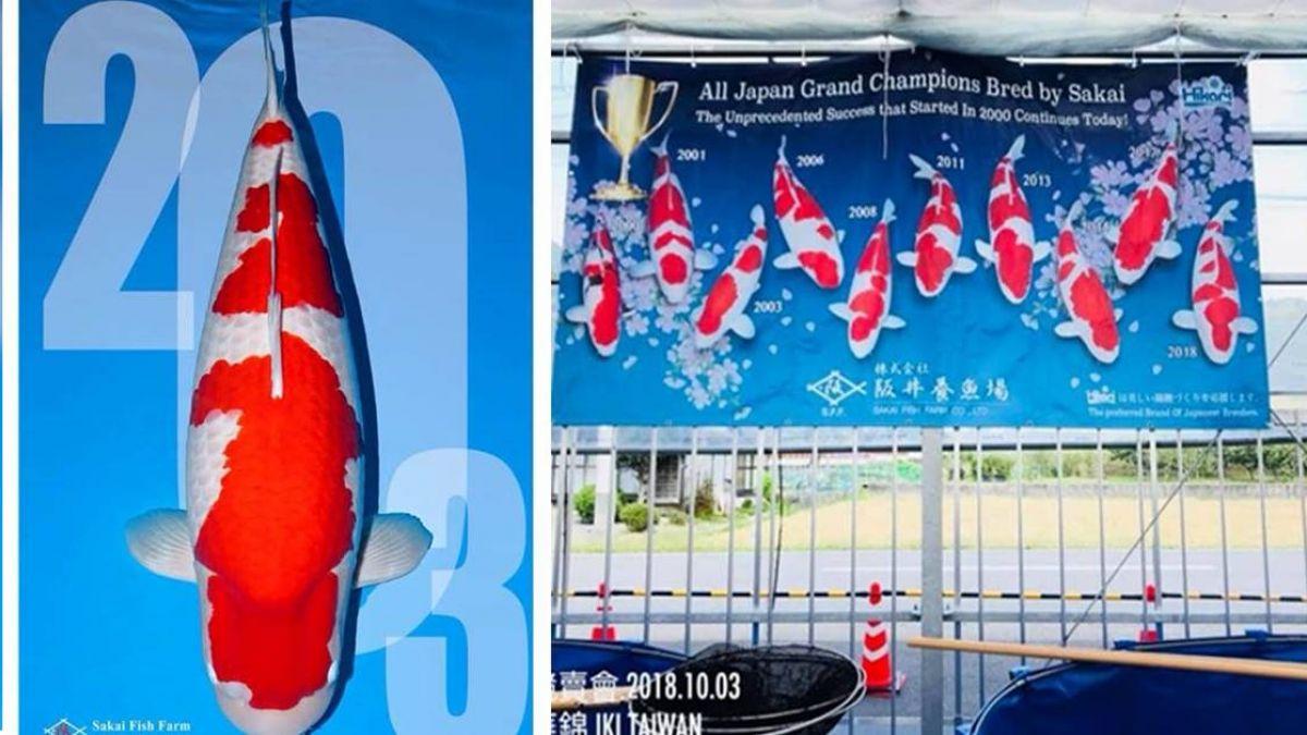 一條魚5500萬!台灣人標下「錦鯉之王」傳將送給馬雲