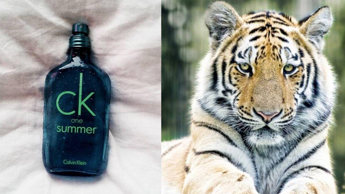 印度出絕招 想用CK香水誘捕咬死人母老虎