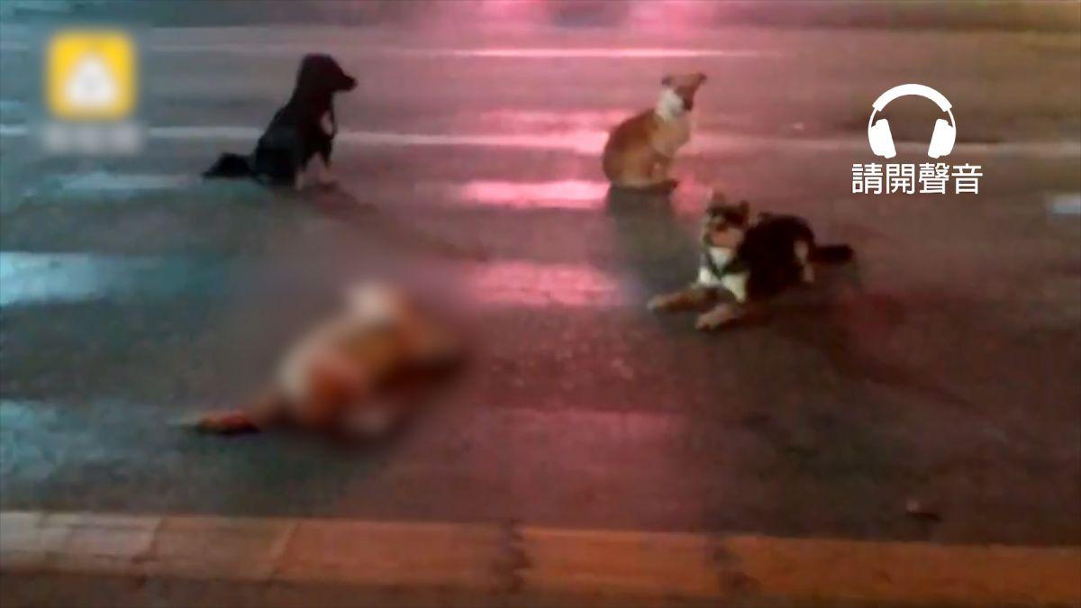 【影片】汪汪被車撞倒地!3同伴吠叫求救 圍住守候不離棄 員警含淚救援