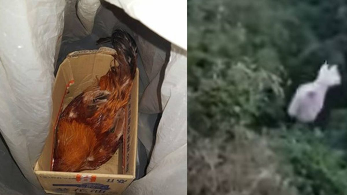 【影】公雞清晨5點半吵醒女兒 父怒丟包山谷:就是想讓牠死!