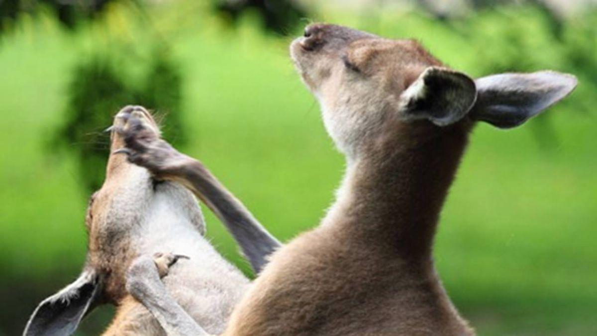 澳洲發生罕見袋鼠攻擊人事件 一家三口全受傷